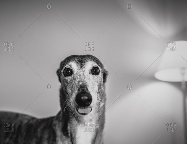 Portrait of a Greyhound - Offset