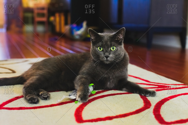 Cat with green eyes playing with a toy