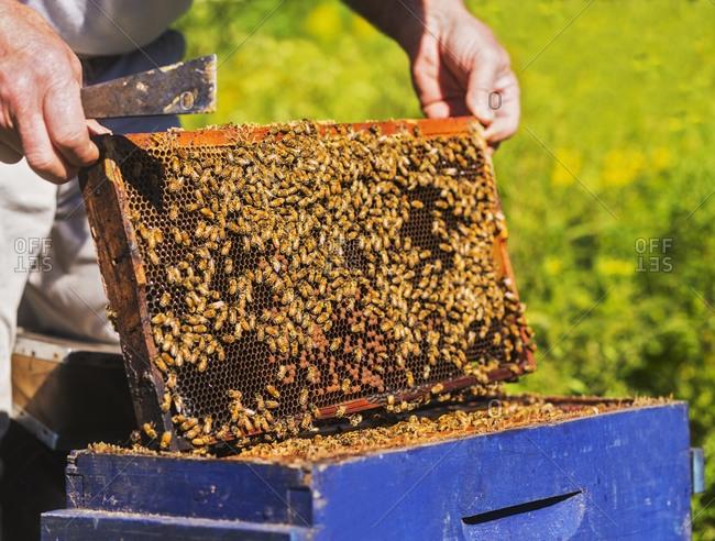 Beekeeper with beeswax honeycomb frame