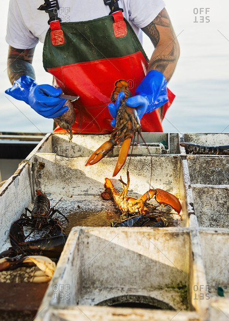 Fisherman measuring lobster