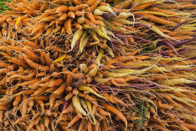 Large bunch of orange, yellow and purple carrots