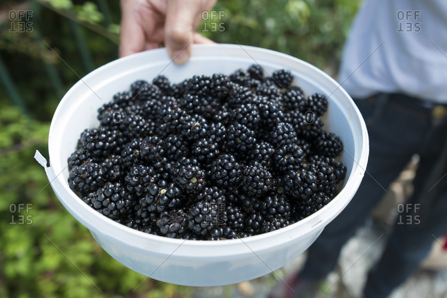 Wild blackberries picked by a local Spaniard in northern Spain