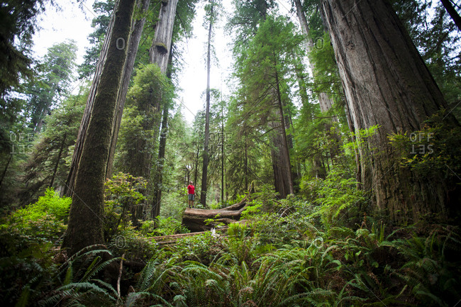 A hiker admires the Giant Redwood Forest near the Old Boy Scout Trail in Stout Grove