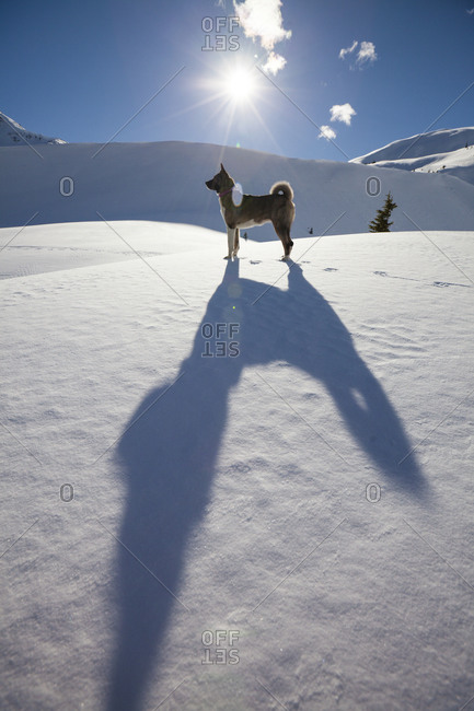 A long shadow of a large dog is cast across fresh snow