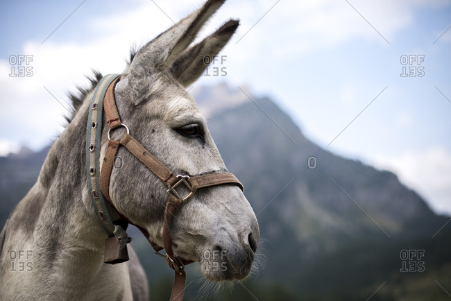 A little donkey in the Devero Valley, Piemonte, Italy