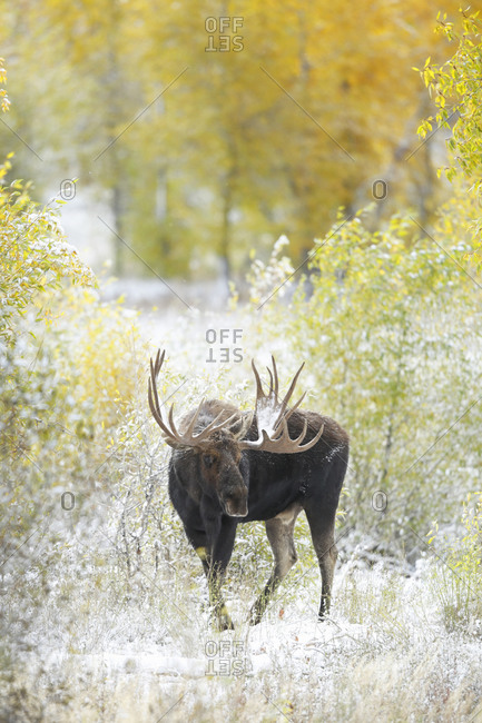 Bull Moose from the Offset Collection
