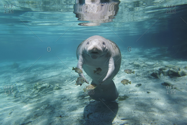 Manatee photo from the Offset Collection