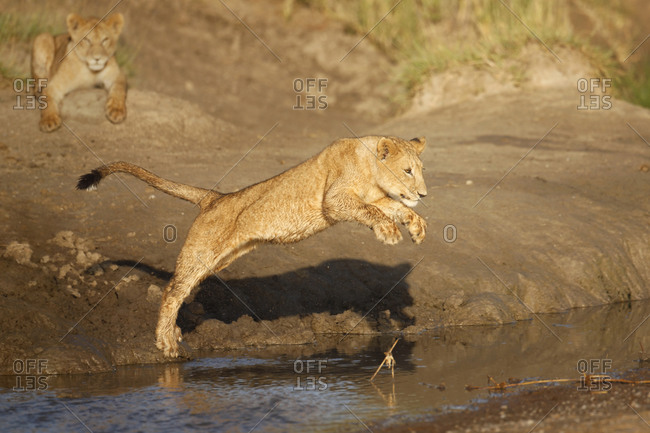 Young lion jumping into water