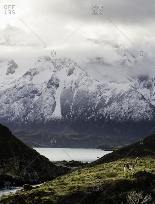 Guanaco on a grassy hill by snow-capped mountains