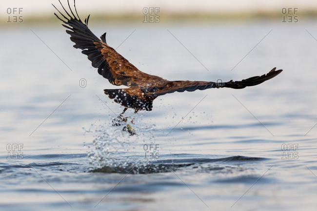 Bird swooping down to pluck fish from a river