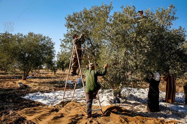 Umm Qais, Jordan - November, 2010: Olive Harvest near Umm Qais in North Jordan