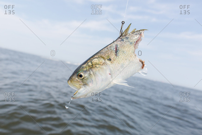 Fish head hanging from a fishing line