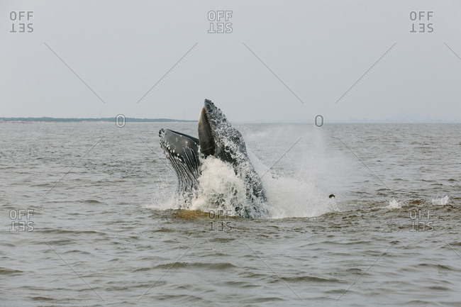 Humpback whale surfacing from the ocean