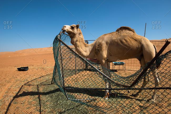 Camel in a desert camp