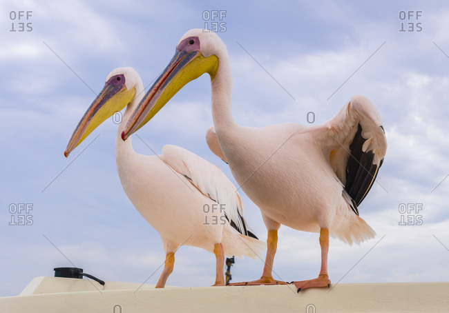 Two white pelicans standing side by side on a wall in Erongo Province, Namibia