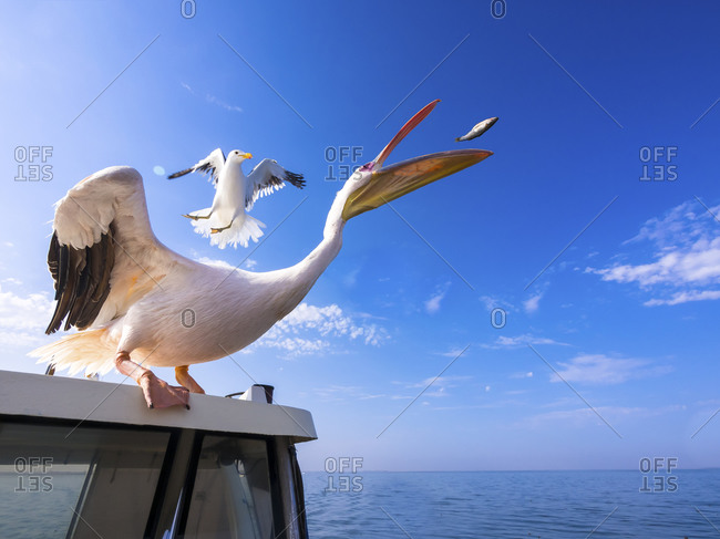 White pelican standing on top of a boat catching a fish