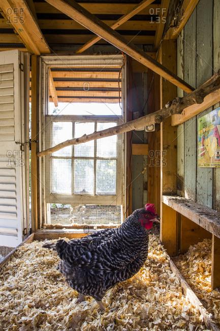 A hen inside a backyard chicken coop