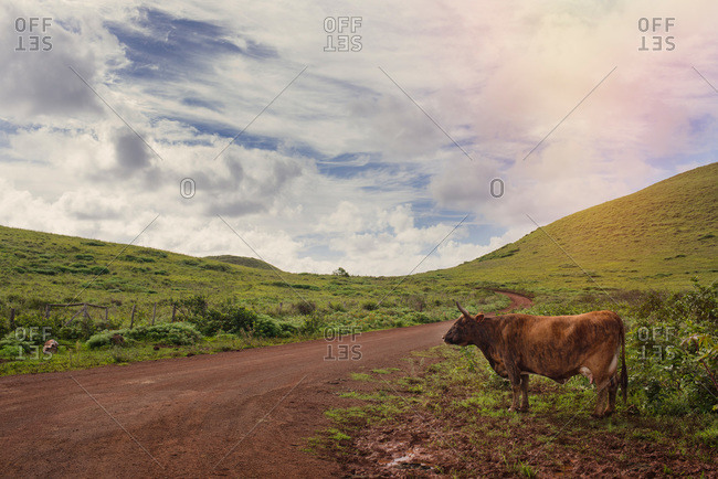 Cow standing beside a dirt road on Easter Island