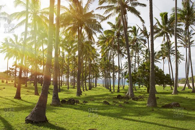 Palm trees along the coast on Easter Island