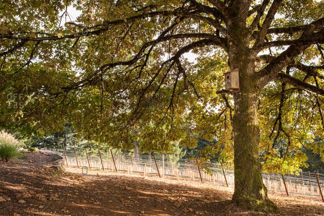 Large oak tree by a vineyard