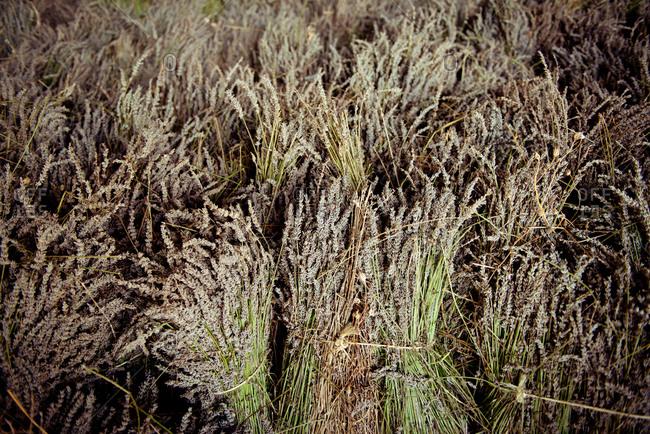 Bundles of grain plants