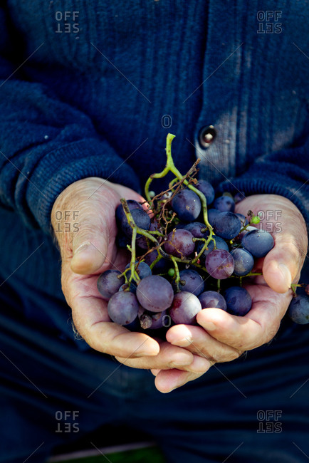 Grape bunch in elderly man's hands