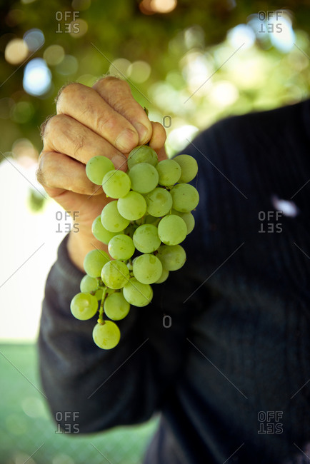 Elderly man's hands holding grapes