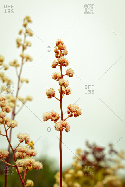 Stalk of flowers in bloom