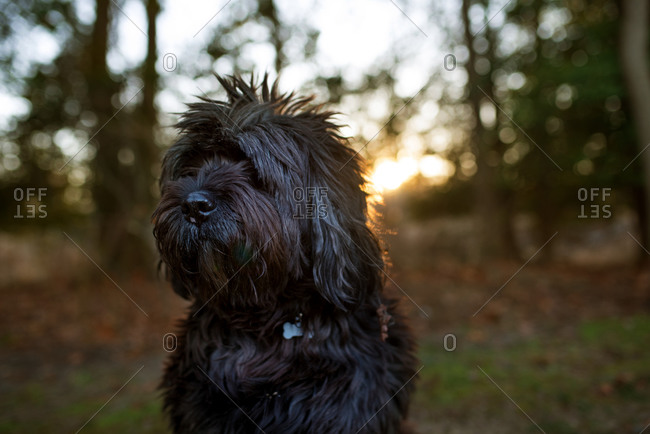 Black dog standing in the woods