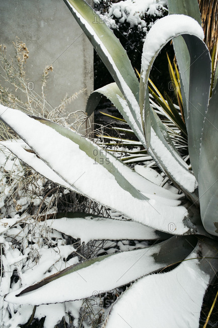Close-up of a snow covered agave