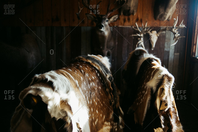 Animal pelts on display with mounted hunting trophies