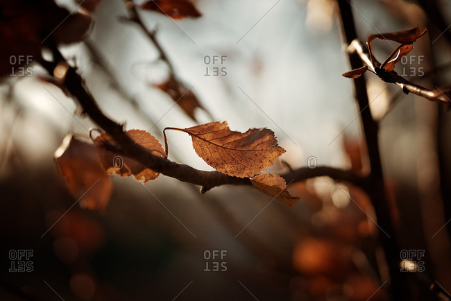 Back lit leaves in winter