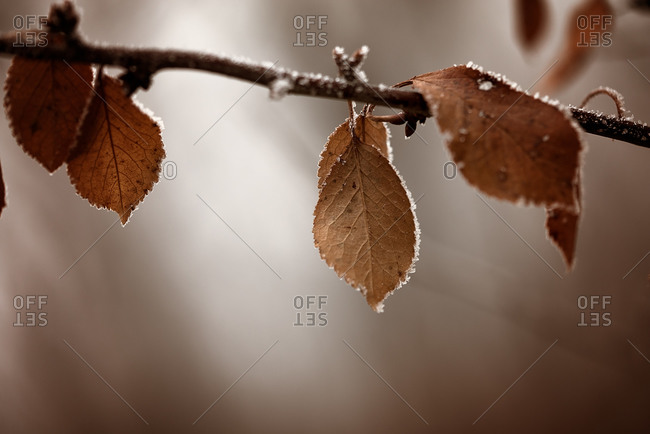 Leaves fringed with frost