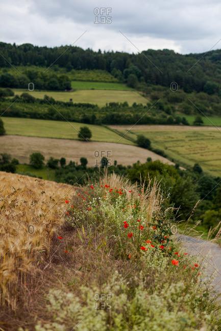 Poppies in German farmland