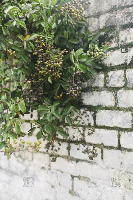 Plant against a mossy brick wall