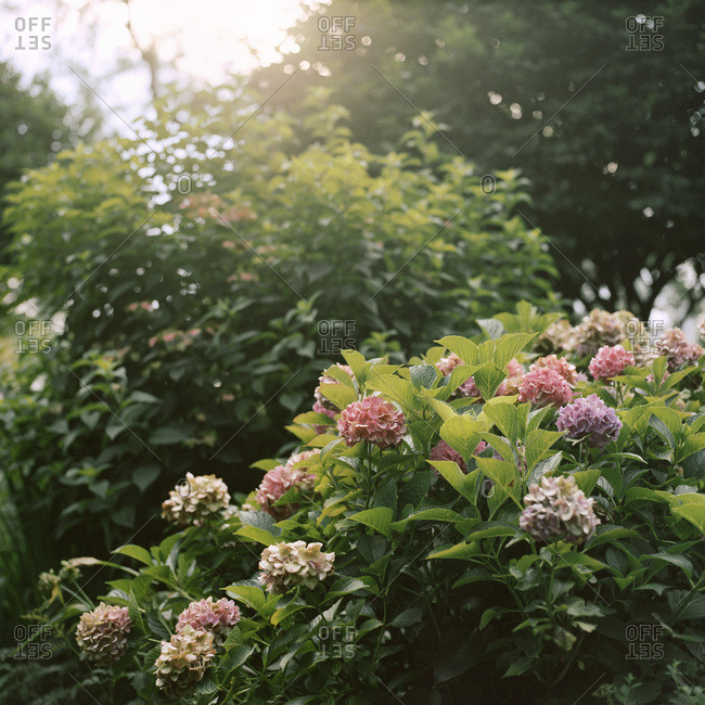 Pink hydrangea bushes in a park