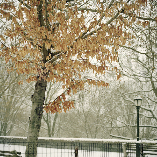 Dry leaves on a tree in the snow