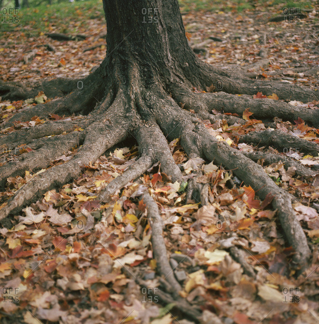 Roots of a tree surrounded by fallen leaves