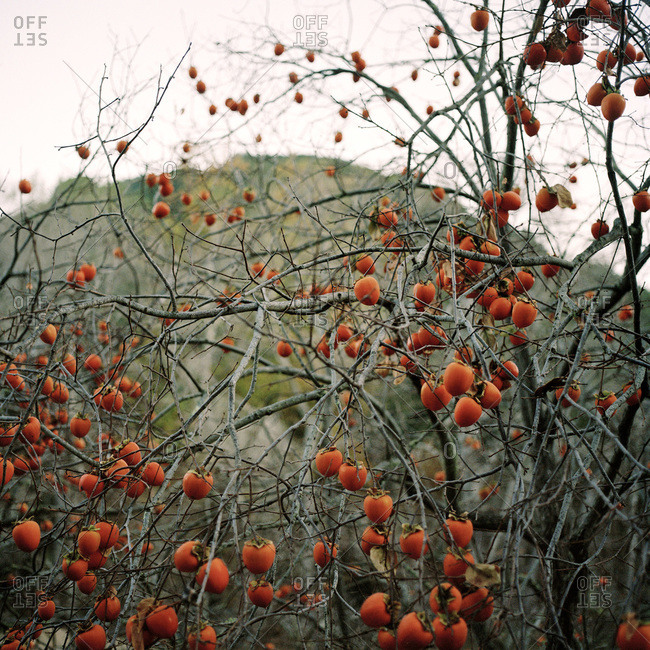 Bright orange persimmons growing on branches