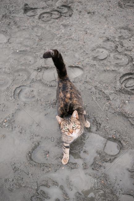 Tabby cat walking through mud