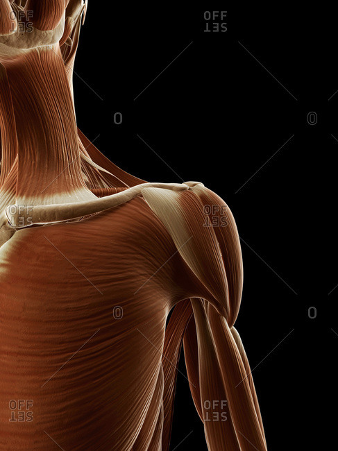 Digital illustration of human shoulder muscles