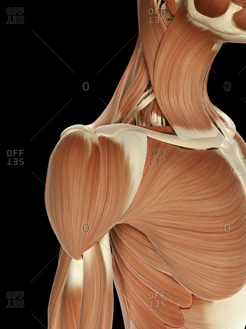 Digital illustration of right human shoulder muscles