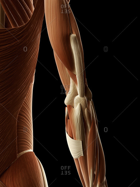 Digital illustration of right human arm muscles from behind