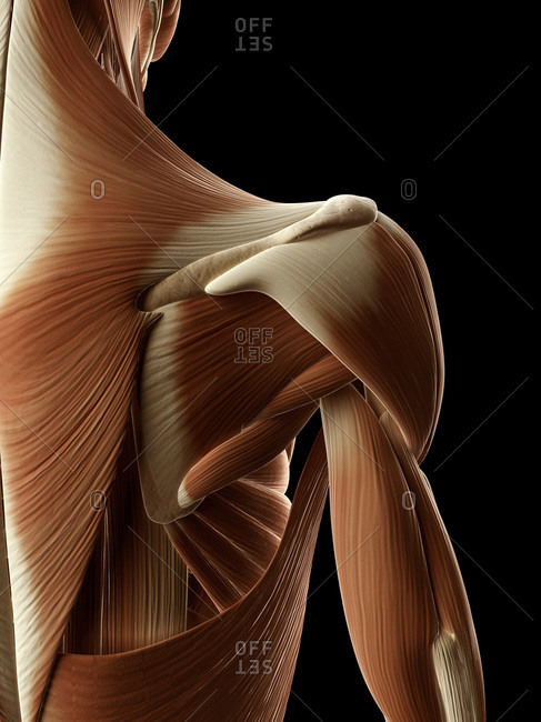 Digital illustration of right human shoulder muscles from behind