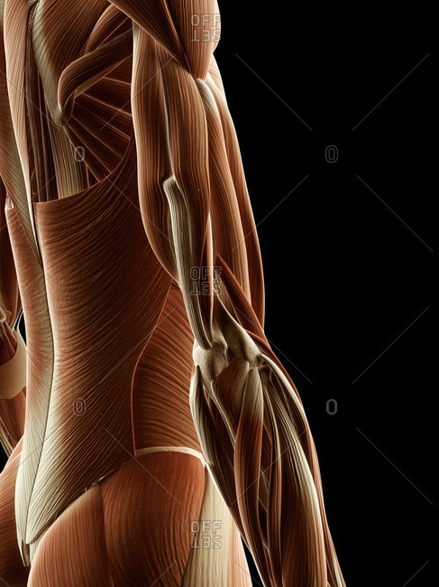 Digital illustration of a side view of right human arm muscles