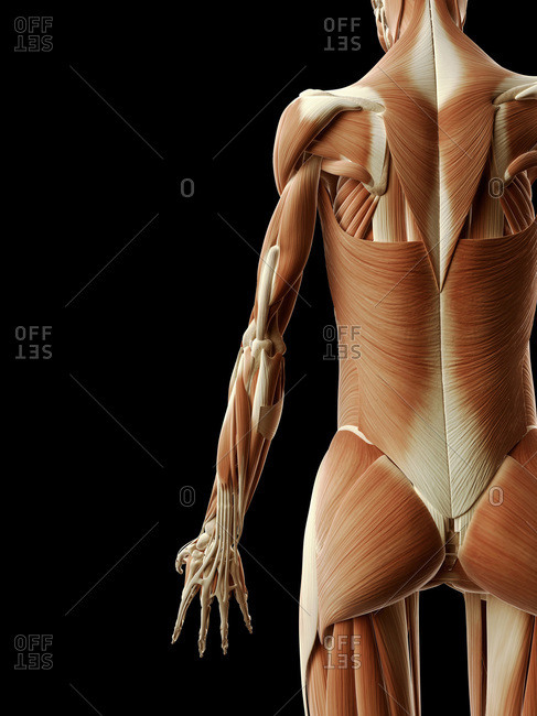 Digital illustration of human muscular system