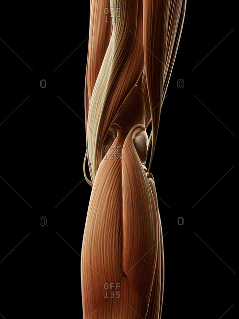 Digital illustration of human leg muscles from behind