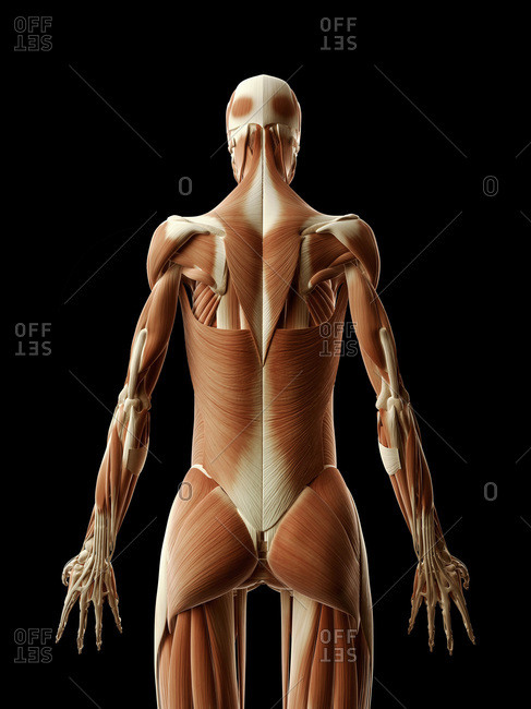 Digital illustration of human muscular system from behind