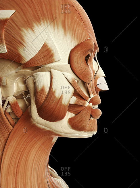 Digital illustration of human head, neck and face