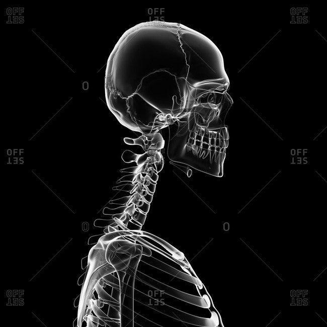 Digital illustration of human neck and skull